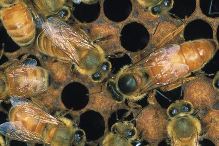 bee queen: Abeja reina