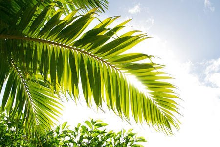 palm frond: Palm frond