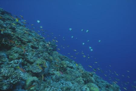 basslet: Basslet hadas del melocot�n y del Mar Goldie