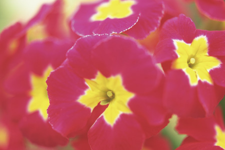 polyanthus: Polyanthus Stock Photo