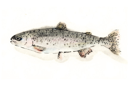 rainbow trout: Rainbow trout