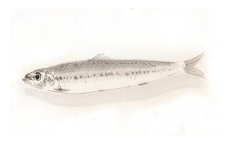 sardine: Sardine
