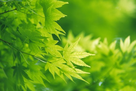 greenness: The greenness of a maple tree