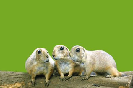 prairie dog: Three Prairie Dogs CG