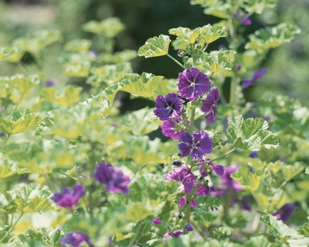 mallow: Herbs - Common mallow flowers