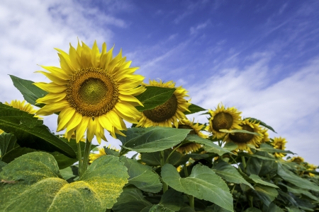 Sunflower field, close-up photo