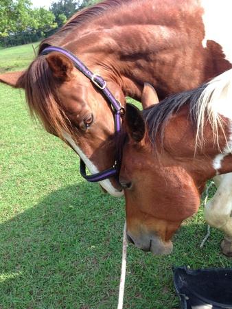 Horses loving on each other  Фото со стока