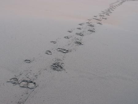 foot steps: buffalo foot steps on beach