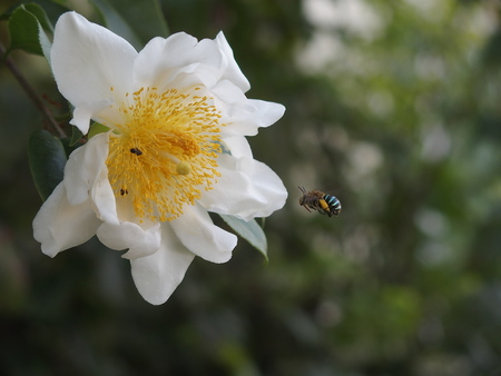 blue banded bee finding honey