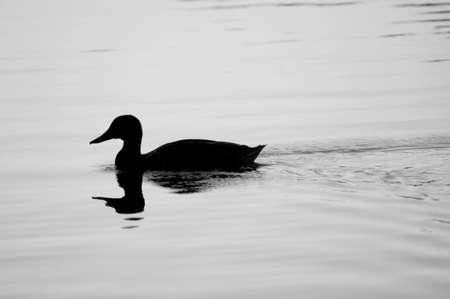 Duck on Water (Mallard Hen Silhouette) Stock Photo