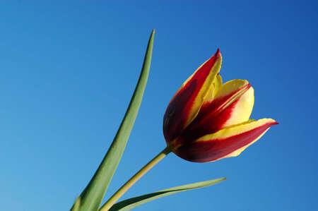 Keizerskroon Tulip Aginst the Blue Sky