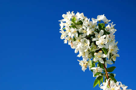 Young Crabapple Branch Against Blue Spring Sky Standard-Bild