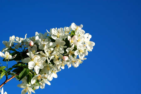 Young Crabapple Branch Against Blue Spring Sky Stock Photo