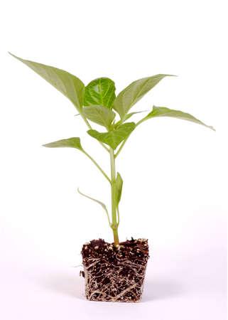 Pepper Plant on White Background