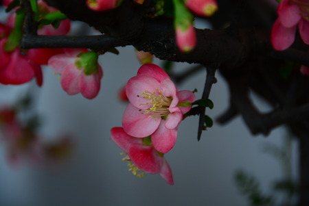 rui: plum blossom Stock Photo