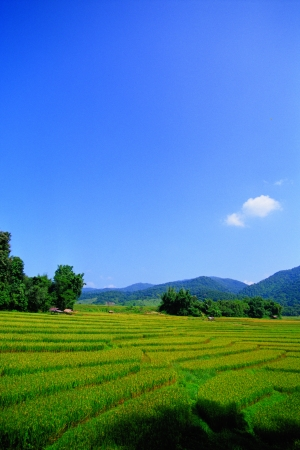 agriculturist: beautiful rice field in thailand