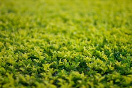 closeup of green bush in the park