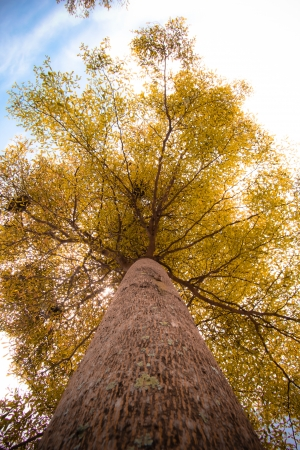 looking up to huge tree in sunny day