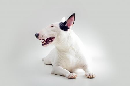 little white bull terrier Stock Photo