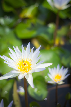 waterlilly: White lotus or waterlilly in water pot Stock Photo