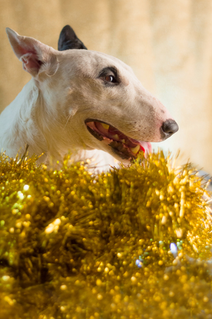 xmas background: bull terrier with xmas lighting concept with golden background