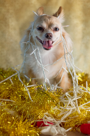 Christmas chihuahua puppy with decorating lights Stock Photo