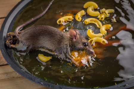 entrap: mouse on rat glue trap with macaroni on wooden floor
