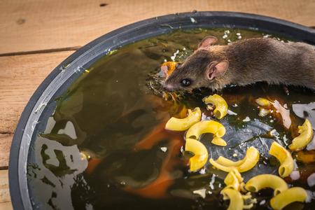 taking risks: rat on rat glue trap on wooden background Stock Photo