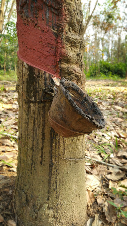 latex: rubber tree without latex milk Stock Photo