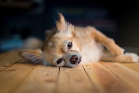 lay down: cute sleepy chihuahua dog lay down on wooden floor