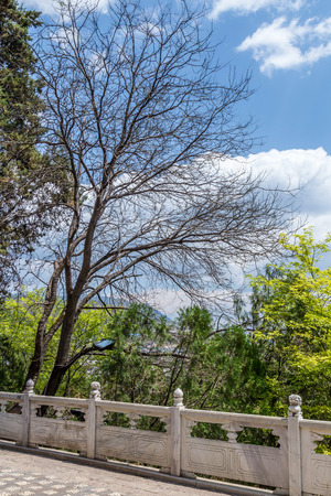 secular: Old branch tree background the sky with cloudy and china tradition stone walkway