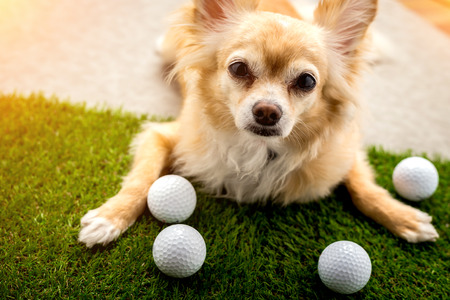 chihuahua dog brown color sleeping next to golf ball on green grass and grey leather floor