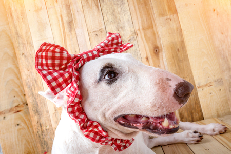 kampfhund: English bull Terrier  with red bow tie shooting portrait on wooden floor and background