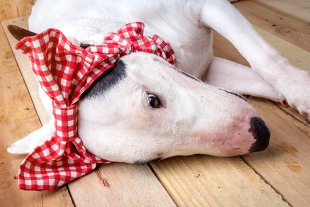 black and white pit bull: English bull Terrier  with red bow tie shooting portrait on wooden floor and background