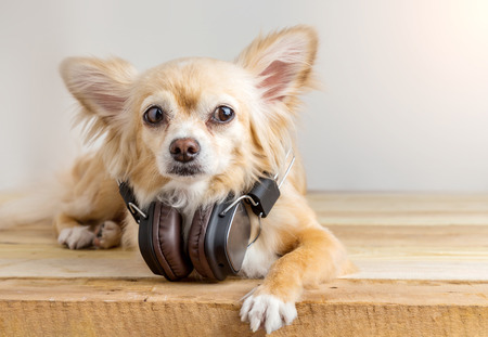 mp3 player: cute chihuahua dog listening to music in large leather dark wireless headphone on wooden floor