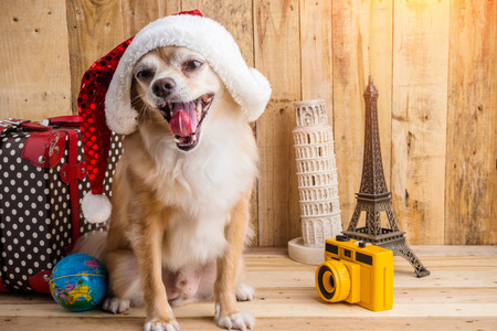 cute brown color chihuahua dog with christmas concept ,travel stuff ,bag ,camera,souvenier on old rustic wooden floor and wall