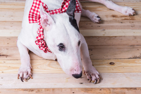 cute english bullterrier relax on wooden floor