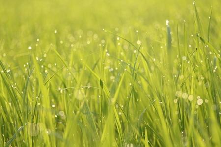 secretion: Guttation  Water droplet secretion at the tip of leaf of rice Blur background Stock Photo