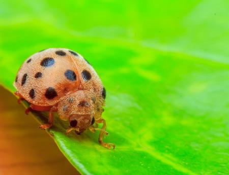 ladybug on leaf: Ladybug on green leaf