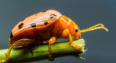 macro: Ladybug insect