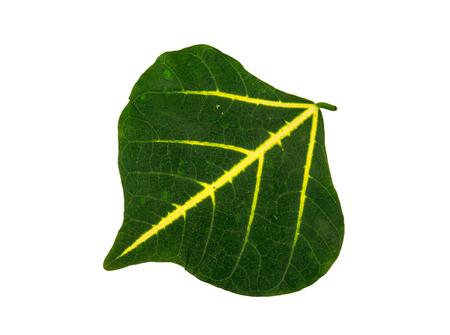 lang: bai lang golden green leaf on white blackground Stock Photo