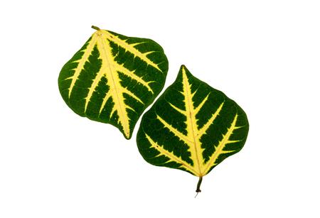 lang: bai lang golden green leaf on white background