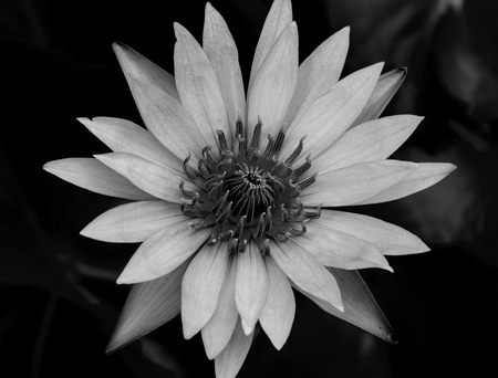 Close Up Of Black White Lotus Flower Stock Photo, Picture And ...