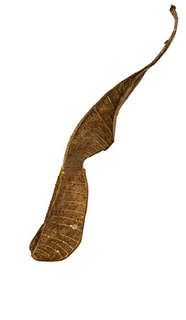 dry leaf: dry leaf on the white background