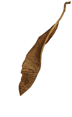 dry leaf: dry leaf closeup on the white background Stock Photo