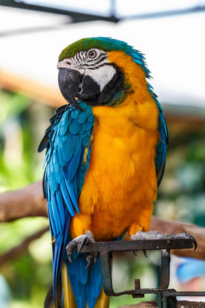 guacamaya: Parrot macaw