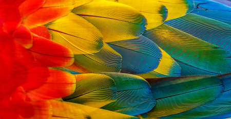 feathers parrot Macaw. with beautiful colors. background