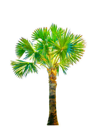Trees palm Isolate on white background.