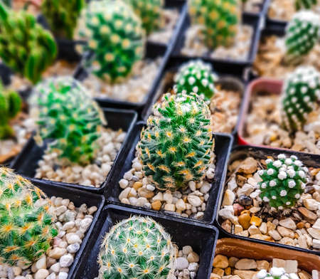 Little Cactus plant for the background. close up 스톡 콘텐츠