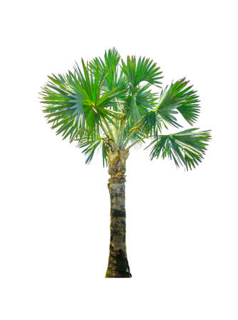 Palm trees Isolate on white background.